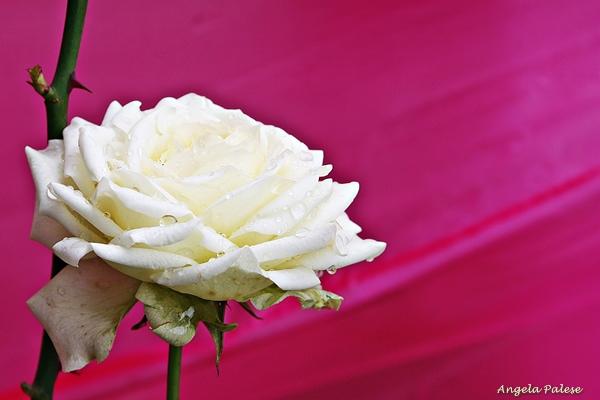 Rose e spine: riflessioni sulla maternità