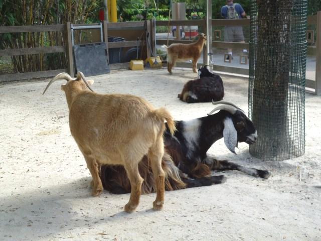 Cabras en el Zoo de Miami