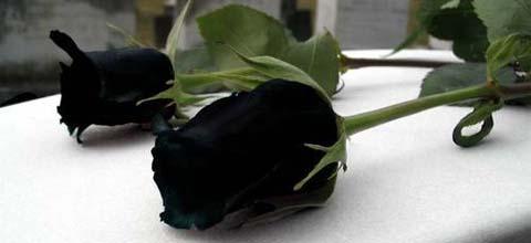 fallecimiento, muerte, negro, pésame, luto, rosa negra