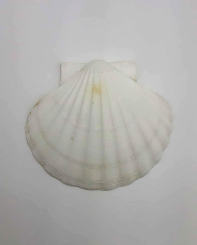 Seashell Scallop diameter 14 cm