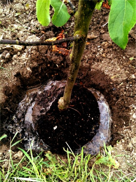 fill planting hole with water
