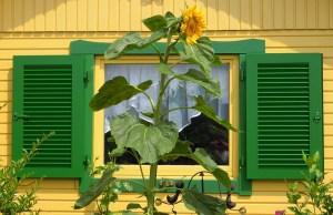 Sonnenblumenfensterladen-m