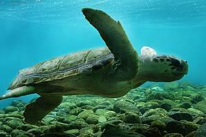 Ilha de Anchieta: Tartarugas marinhas estão entre as atrações