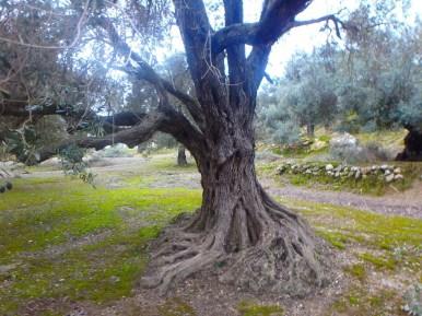 alter Olivenbaum in Kreta