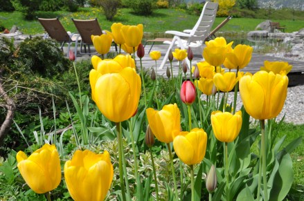 Die Tulpen im Frühjahr