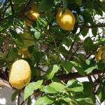 Lemon tree on the terrace