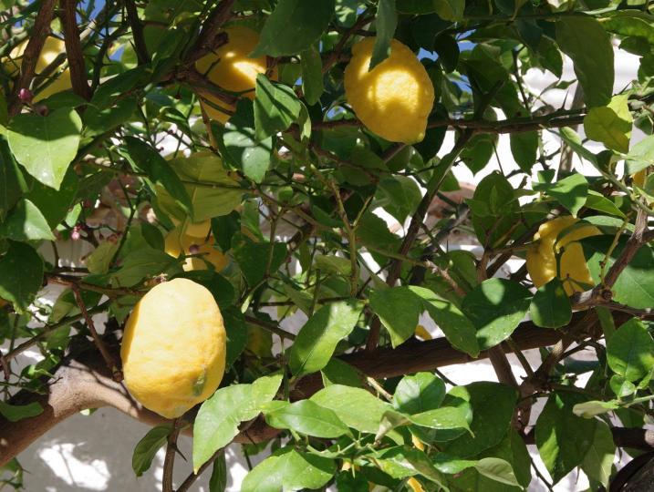 Lemon tree on the terrace