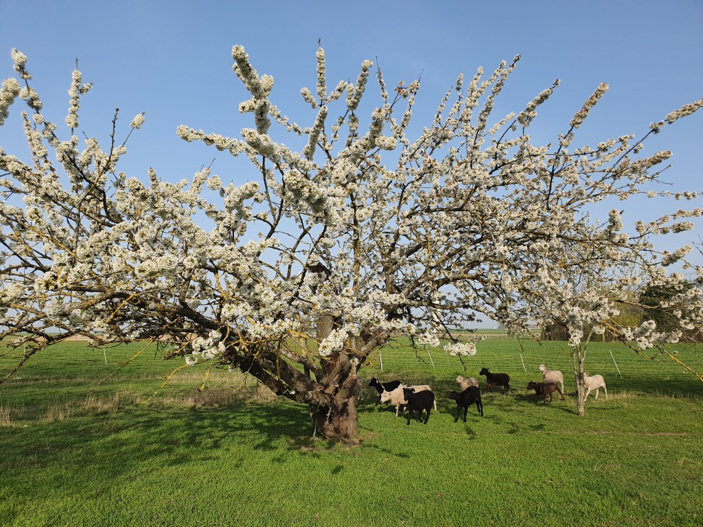 Dans le Loiret La ferme côte verger Tous les espaces de la ferme accueille nos chèvres angora et mouton shetland. Ainsi le verger comprenant cerisier, prunier, groseiller fait le bonheur de la famille et de nos animaux