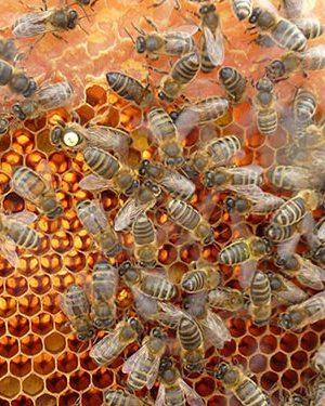 honey propolis