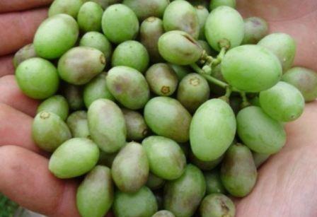 Болезни винограда и их лечение с фото видео - Фермер без ...