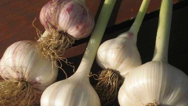 Сорта чеснока с фото и описанием. Самые урожайные озимые и ...