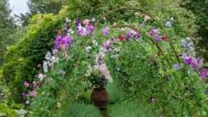 Душистый горошек: выращивание из семян, когда сажать, фото