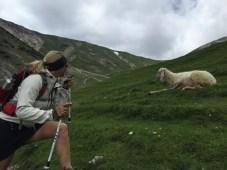Leutasch - Schafe auf den Almwiesen