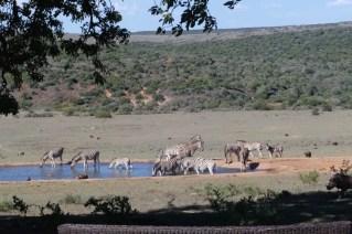 Afrika Addo Elephant Park - Zebras