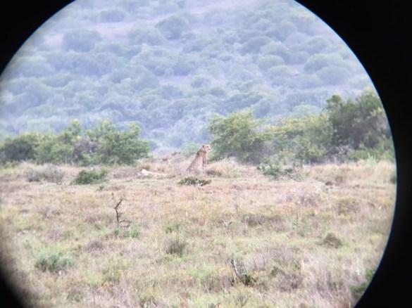 Addo Elephant Park - Geparden gesichtet. Iphone durchs Fernglas Trickshot