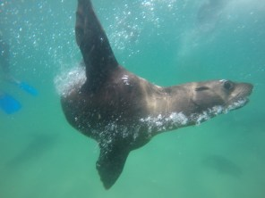Afrika-Garden-Route - Swim with Seal - Plettenberg Bay