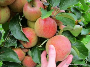 Apple Picking in Northern Virginia