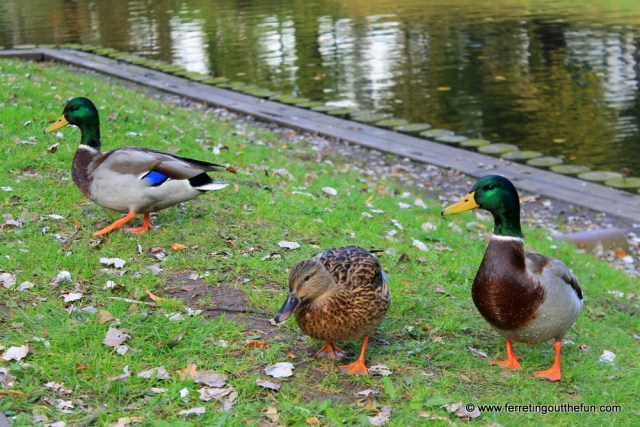 Riga ducks