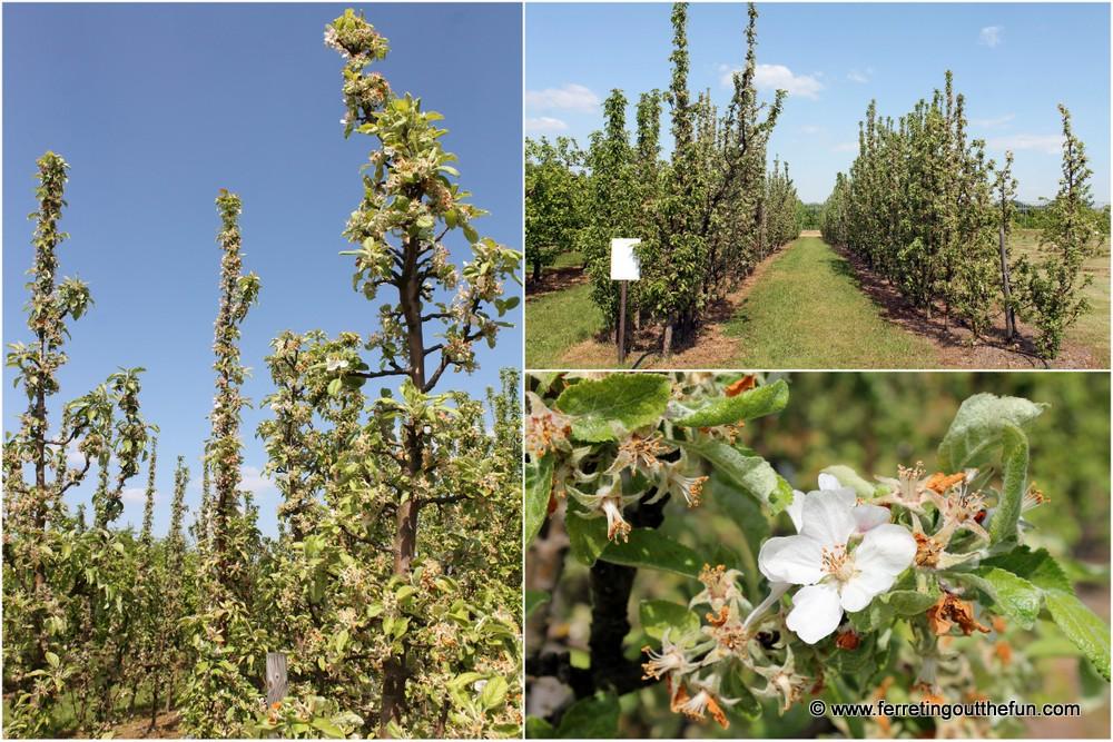 Dobele Apple Trees