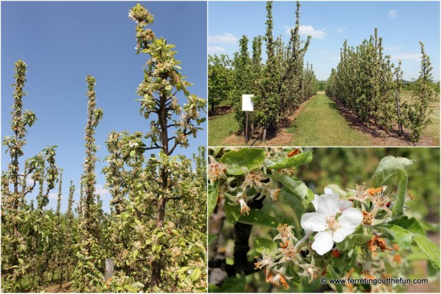 Dobele Apple Trees