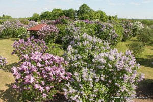Dobele, Latvia and the Largest Lilac Garden in Europe