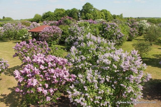 dobele lilac garden latvia