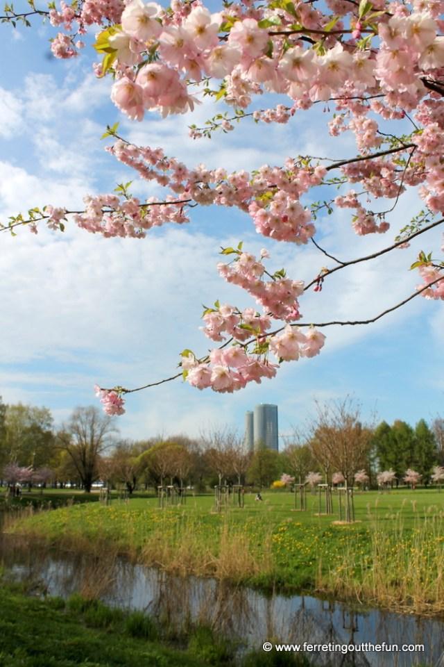 Cherry blossoms in Riga's Uzvaras park