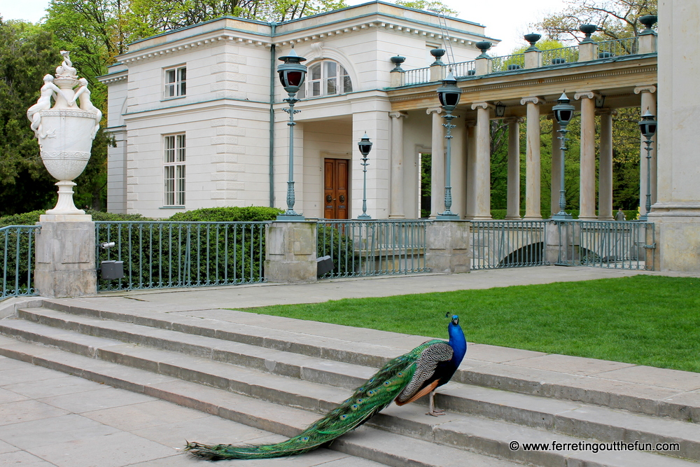 Lazienki Palace peacock
