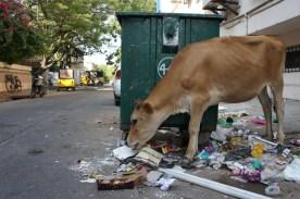 Kühe sind im Straßenbild Indiens allgegenwärtig. Diese Kuh in Pondicherry findet ein reichhaltiges Buffet, sogar mit Leuchtstoffröhren, vor