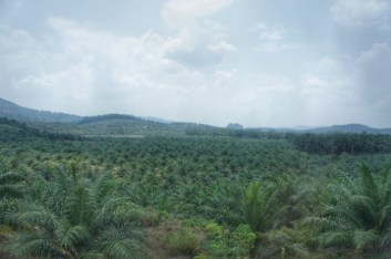 ... sieht es meist so aus: Palmtrees soweit das Auge reicht