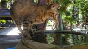 Viele Möglichkeiten, um an Trinkwasser ranzukommen hat unser Stubentiger des Longhauses auf der Insel nicht. Wahrscheinlich dadurch nimmt er auch in Kauf, nass zu werden