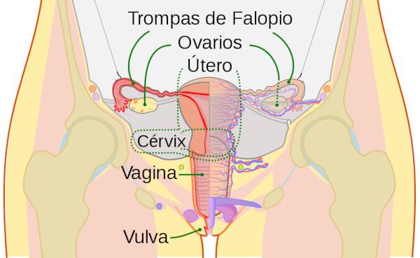 Sistema reproductivo femenino. Fuente: Archivo Wikimedia
