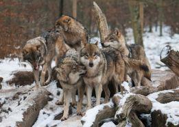 """Résultat de recherche d'images pour """"meute de loups"""""""