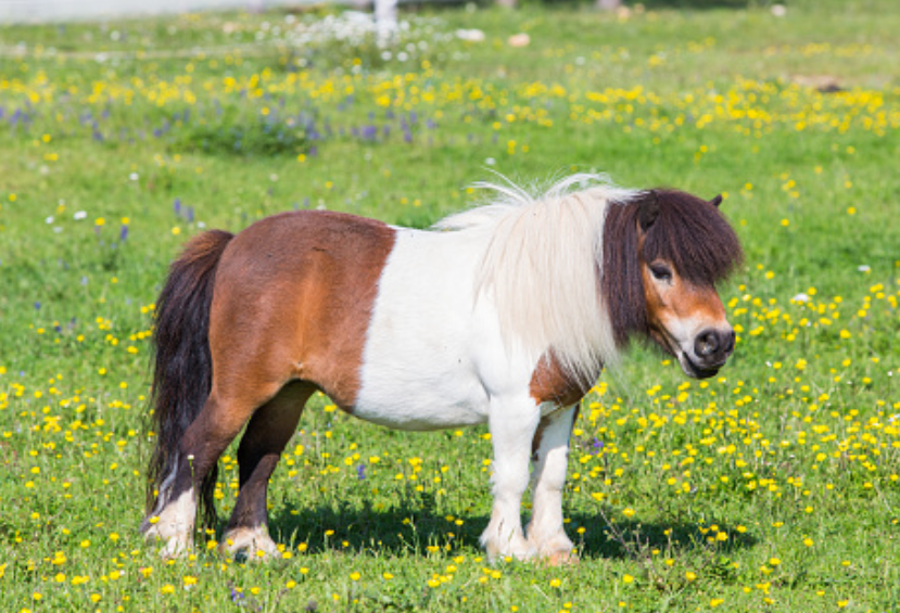 pony in the farm