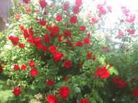 redroses2.JPG