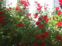 redroses3.JPG