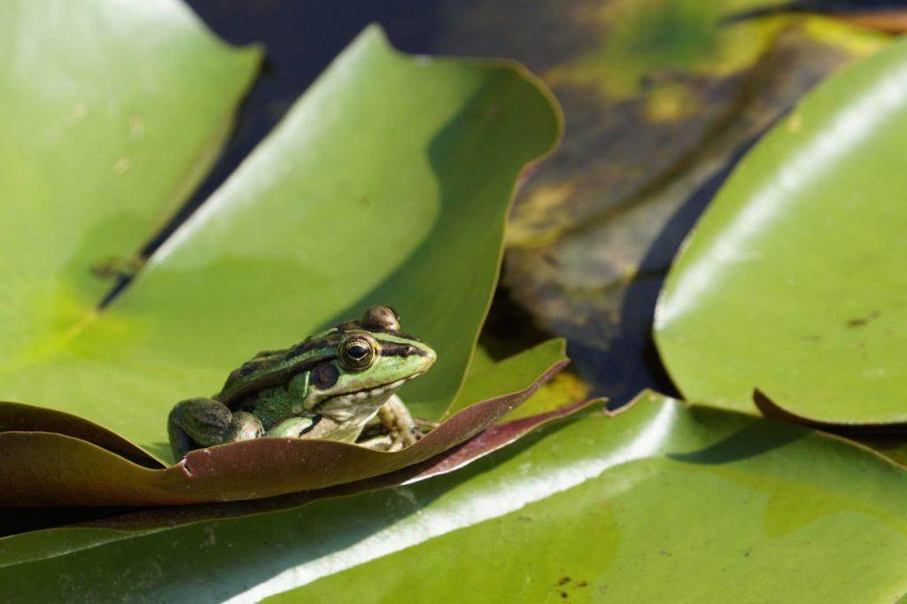 睡蓮上的金線蛙