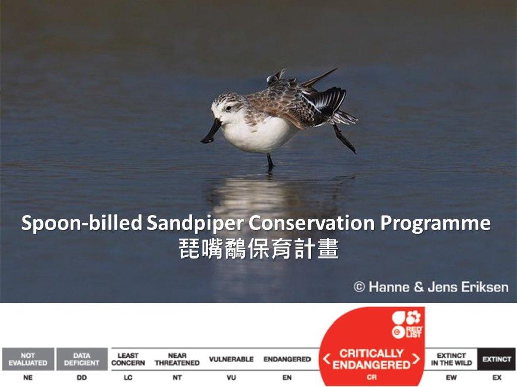 琵嘴鷸全球數量約為240~456隻,是極度瀕危的鳥類。
