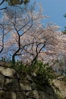Cerisiers sur les murailles du château