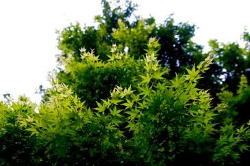 Les feuilles vertes des Momiji
