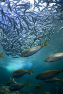 Multitudes de poissons