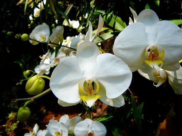 Des orchidées ...