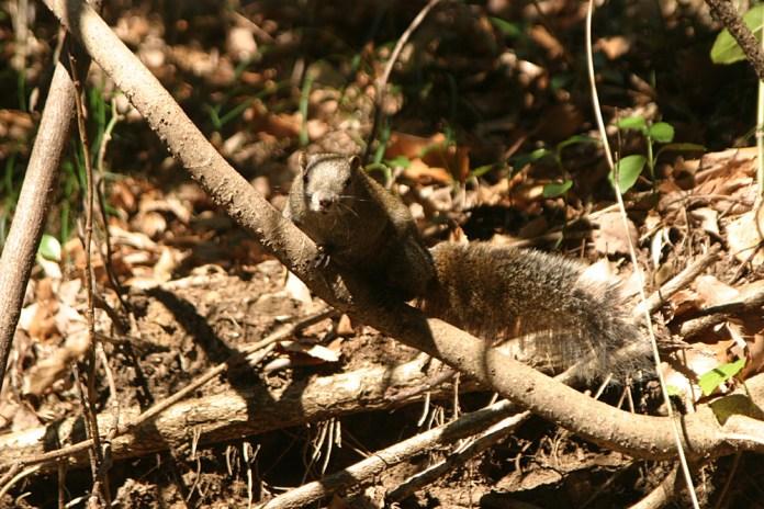Encore un. Kamakura pullule decidement d'ecureuils. Contrairement a ce que j'avais dit dans l'album precedent, ce sont en fait des ecureuils de Taiwan et non de Coree. Mea Culpa.