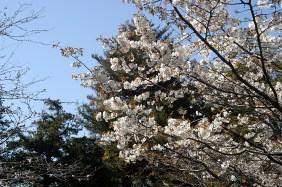 Une branche de cerisiers. Les sakura ne sont pas encore complètement en fleurs à Kamakura. Mais, c'est quand même joli.