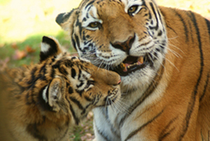 A true tiger mother - Photo: Orchidgalore/flickr