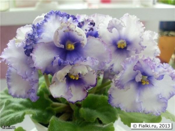 Ultra Violet, Crystal Plum, ЕК-Кружевные Зонтики | Fialki.ru