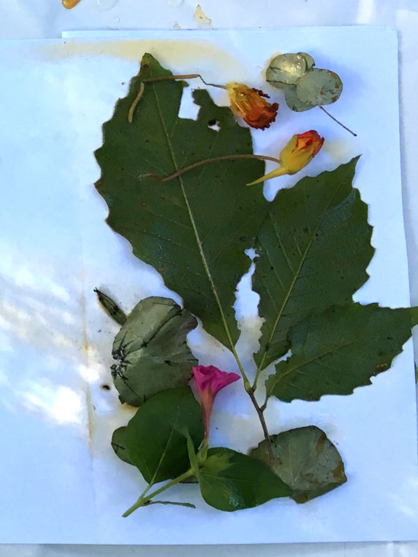 Oak leaves, Nasturtium blooms and leaves ready to eco print