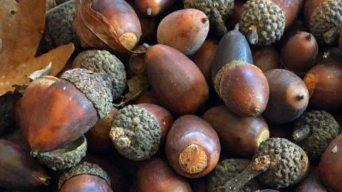 Dyeing With Acorns A Natural Dye For Fabric And Yarn Fiberartsy Com