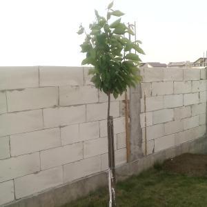 Ciresul in anul al doilea dupa plantare
