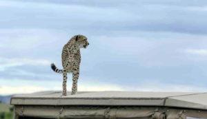 cheetah-1-of-4